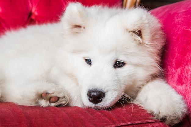 赤い豪華なソファの上の面白いサモエド犬子犬