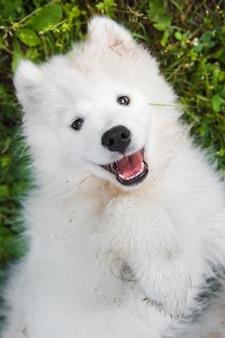 緑の芝生の庭で面白いサモエド子犬犬の銃口