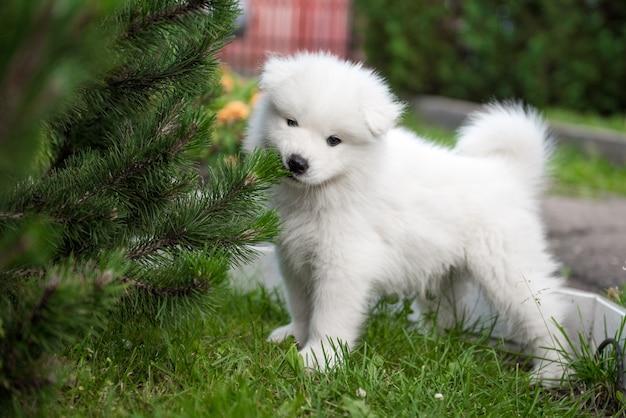 Забавный щенок самоеда грызет декоративную елку