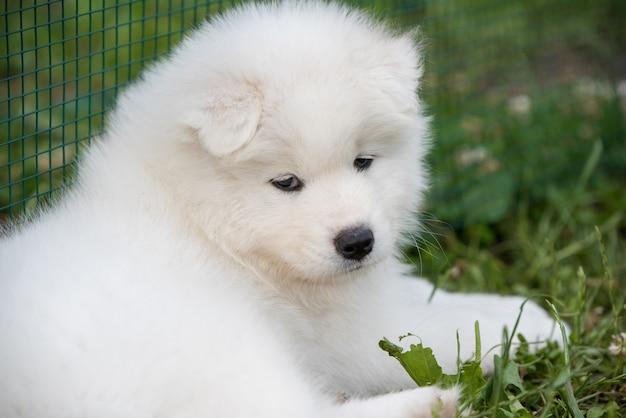 Забавный щенок самоеда в летнем саду на траве