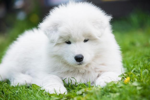Забавный щенок самоеда в летнем саду на зеленой траве
