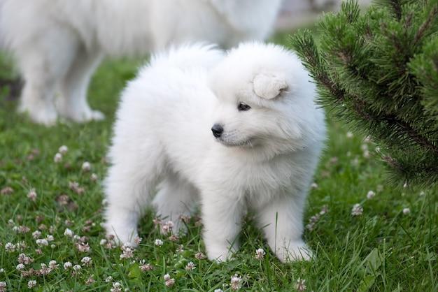 Забавный щенок самоеда на зеленой траве