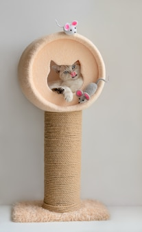 Funny scottish blue eyed cat in the cat tower with scratching post and two mice