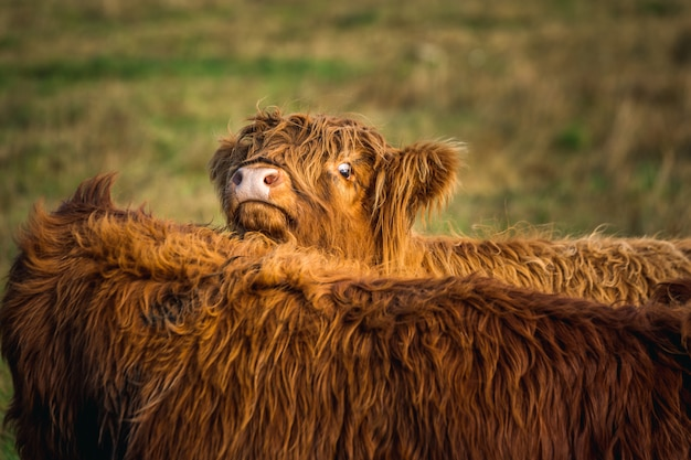 Смешная шотландская горная корова