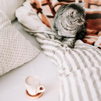 웃기는 스코틀랜드 똑 바른 고양이가 침대에서 담요에 앉아있다.