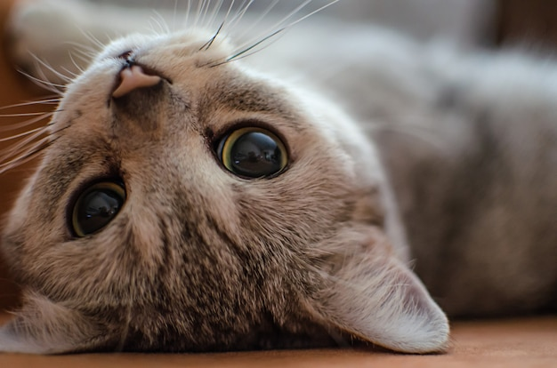 Funny scottish straight cat lies upside down on the carpet