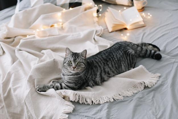 Смешной шотландский прямоухий кот лежит на одеяле в уютной постели у себя дома