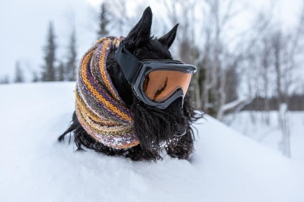 Забавная собака шотландского терьера, одетая в лыжную маску и цветной шарф на снежном фоне и лесном горнолыжном курорте