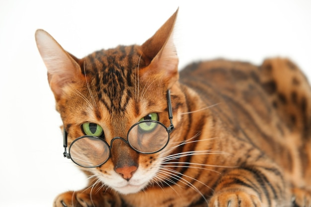 Забавный суровый взгляд бенгальской кошки в очках, смотрящей на камеру, лежащую на белом фоне, изолированной. плохая концепция плохого зрения домашних животных или строгая идея профессора или животного и юмора. крупным планом