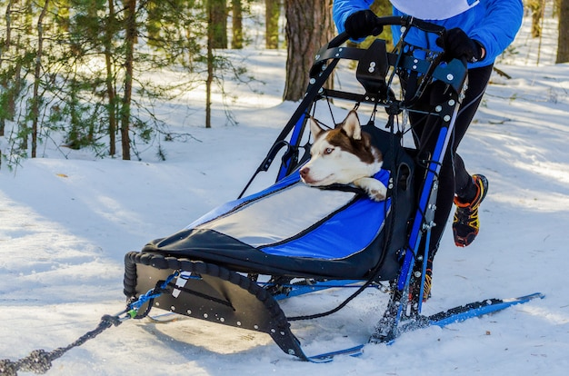 Funny siberian husky dogs in harness. sled dogs race competition. sleigh championship challenge in cold winter forest.