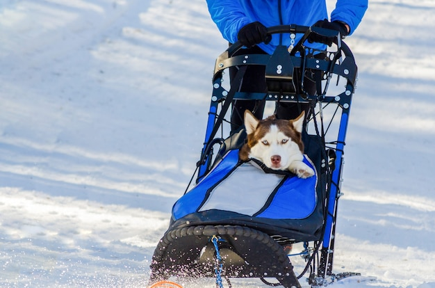 Funny siberian husky dogs in harness. sled dogs race competition.
