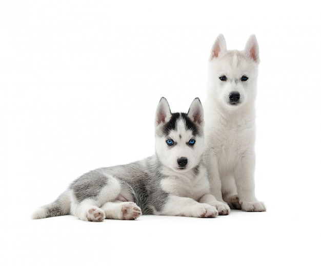 面白いシベリアンハスキー子犬のポーズ。灰色と白の毛皮と青い目を持つオオカミのような2つのかわいい犬。隔離する。