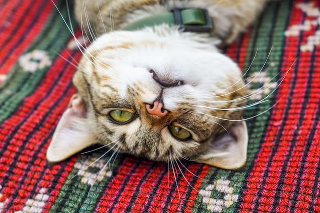 面白い睡眠トラ猫