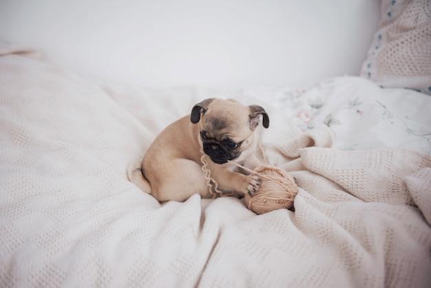 Funny sleepy pug dog with gum in the eye sleep