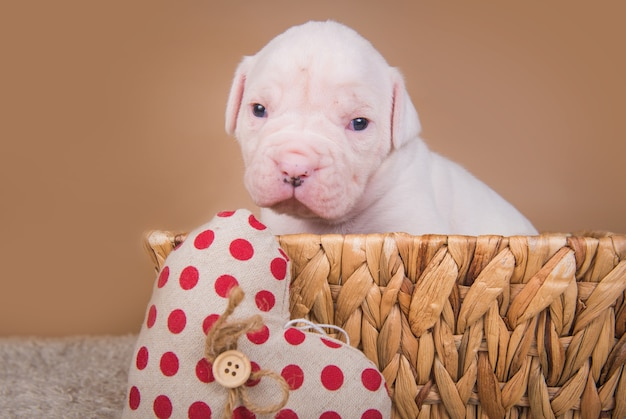재미있는 작은 아메리칸 불독 강아지는 발렌타인 데이에 붉은 마음으로 나무 바구니에 앉아있다.
