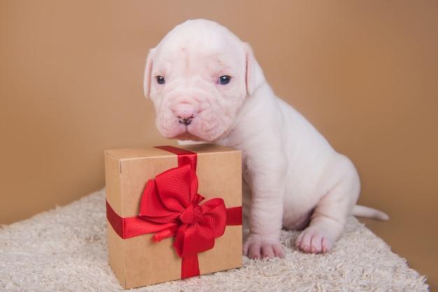 面白い小さなアメリカンブルドッグの子犬の犬がギフトボックスと一緒に座っています