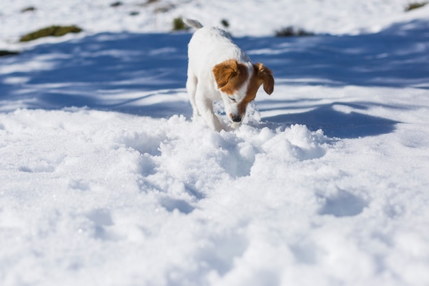 Funny small white and brown cute dog digging into the snow and playing. pets outdoors, snow. sunny weather