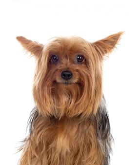 Смешная маленькая йоркширская собака