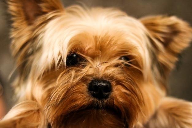Funny small yorkshire terrier portrait