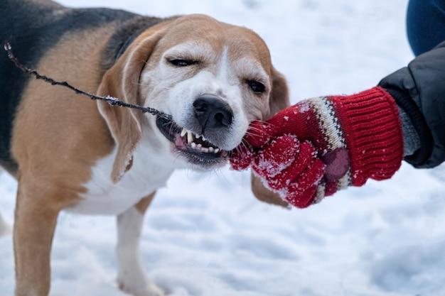 겨울 눈 덮인 공원에서 막대기를 물고 재미 웃는 비글. 빨간 장갑에 소유자의 손은 눈의 배경에 막대기를 보유