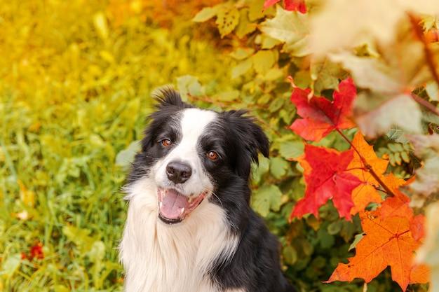 Забавный улыбающийся щенок бордер-колли сидит на фоне красочных листвы осени в парке на открытом воздухе ...