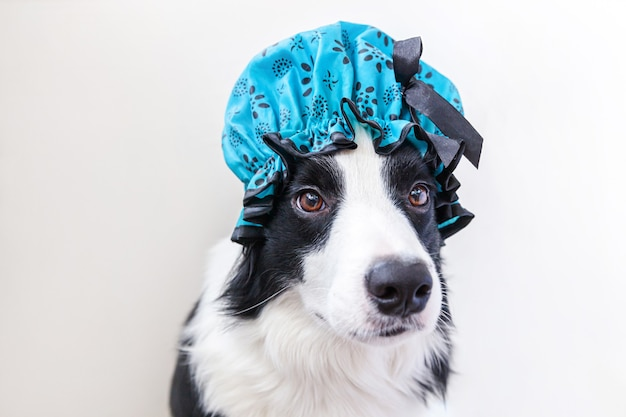 Funny studio portrait of cute puppy dog border collie wearing shower cap isolated on white background. cute little dog ready for wash in bathroom. spa treatments in grooming salon.