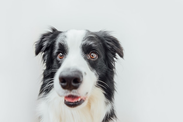 Funny studio portrait of cute smiling puppy dog border collie isolated on white background