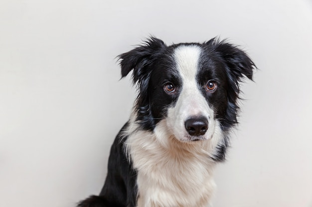 Funny studio portrait of cute smiling puppy dog border collie isolated on white wall. new lovely member of family little dog gazing and waiting for reward. funny pets animals life concept.