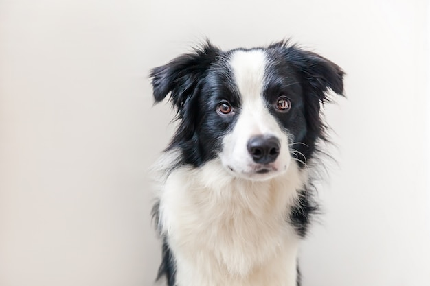 Funny studio portrait of cute smiling puppy dog border collie isolated