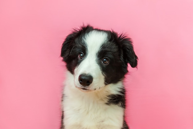 Funny studio portrait of cute smiling puppy dog border collie on pink pastel background