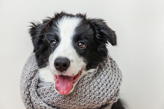 Funny studio portrait of cute smiling puppy dog border collie wearing warm clothes scarf around neck isolated on white background winter or autumn portrait of new lovely member of family little dog