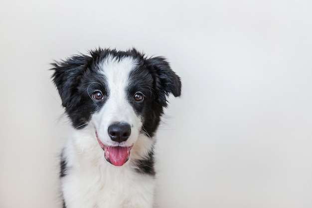 Funny studio portrait of cute smiling puppy dog border collie