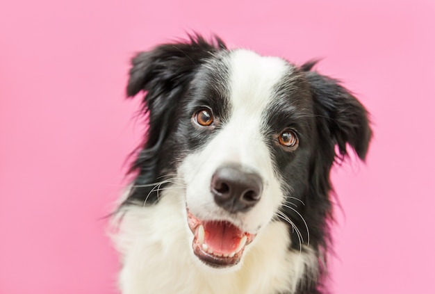 Funny studio portrait of cute smilling puppy dog border collie isolated on pink