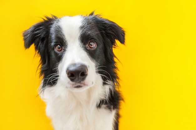 Funny studio portrait of cute smilling puppy dog border collie isolated on yellow