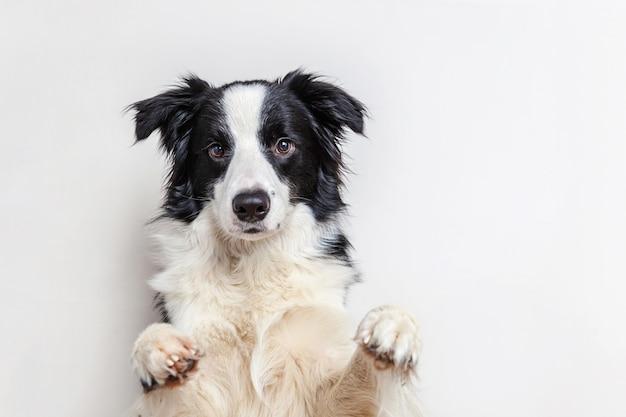Смешной портрет студии милой усмехаясь коллиы границы собаки щенка изолированной на белой предпосылке. новый любимый член семьи маленькая собачка смотрит и ждет награды.