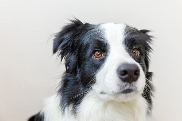 귀여운 미소 강아지 보더 콜리의 재미 스튜디오 초상화 흰색 배경에 고립