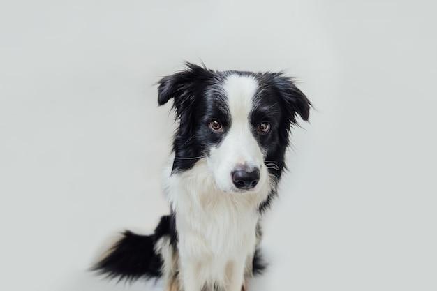 Забавный студийный портрет милого улыбающегося щенка бордер-колли, изолированного на белом