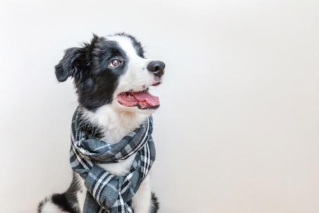 Забавный студийный портрет милого улыбающегося щенка бордер-колли в теплой одежде, шарф вокруг шеи, изолированные на белом фоне зимний или осенний портрет нового милого члена семьи маленькой собачки