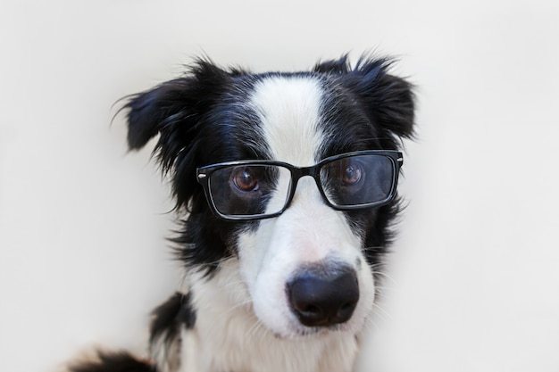 Funny studio portrait of smiling puppy dog border collie in eyeglasses isolated on white background