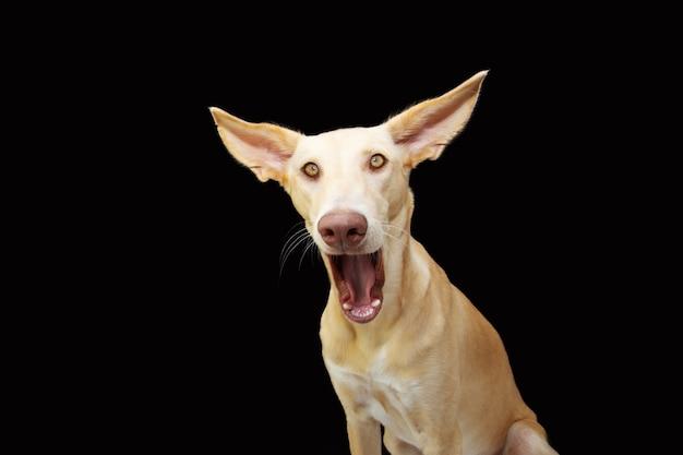 재미 있은 놀란 강아지 강아지 얼굴 표정. 외딴
