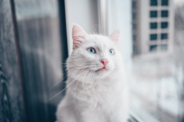 Funny surprised white fluffy cat with blue eyes