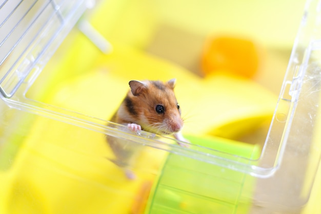 Funny syrian red hamster gets out of its cage