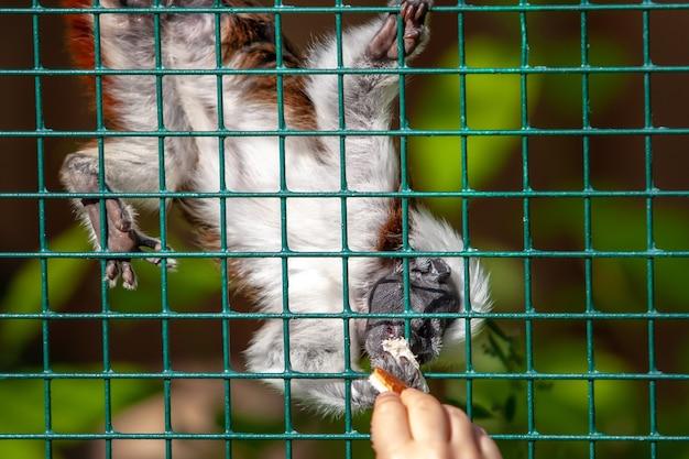 재미있는 타마린 원숭이는 철사 선반을 통해 손에서 빵을 먹습니다. 흰색과 갈색 코트입니다. 끈질긴 발이 철망을 붙잡고 있습니다.