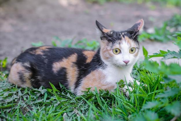 Забавный трехцветный кот с внимательными ушами, лежащий в траве
