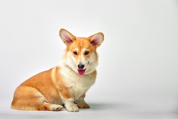 Funny welsh corgi pembroke in studio in front of a white