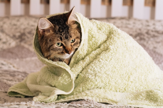 Funny wet brown tabby cute kitten after bath wrapped in green towel