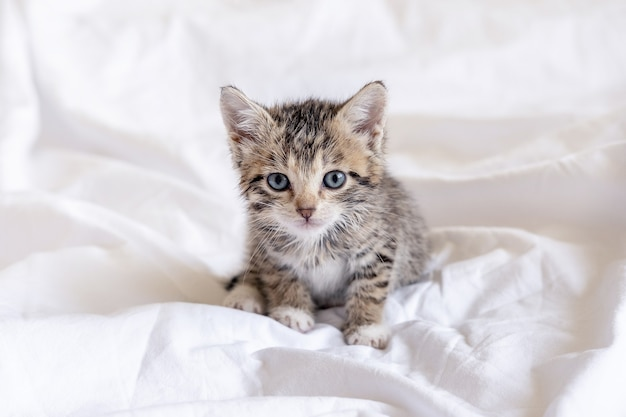Funny wet striped tabby cute kitten sitting after taking bath on white bed. clean kitty pet.
