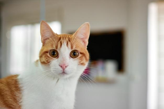 大きな驚きの目を持つ面白い白とオレンジ色の猫
