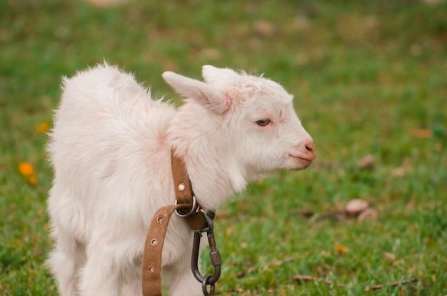 Забавный белый козленок на зеленой траве