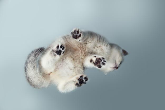 Забавный белый британский котенок на сером столе. вид снизу. необычный ракурс. выборочный фокус.